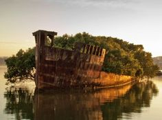 SS Ayrfield, floating mangrove forest, Australia, Olympic Park, Sydney boats, Homebush bay wrecks, nature, dystopia, coal ship, WWII supply ship, environmental news