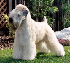the breed cut for a wheaten terrier. we're going to try it this time, just for kicks, but it is a little weird looking!