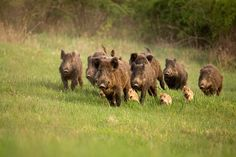 Group of wild boars, sus scrofa, running in spring nature. Action wildlife scenery of a family with small piglets moving fast forward to escape from danger.
