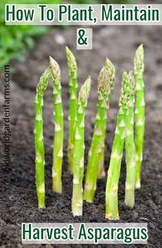 To Plant, Maintain, and Harvest Asparagus.How To Plant, Maintain, and Harvest Asparagus. Vegetable Garden For Beginners, Vegetable Garden Design, Gardening For Beginners, Vegetable Gardening, Gardening Zones, Container Gardening, Asparagus Garden, Grow Asparagus, Asparagus