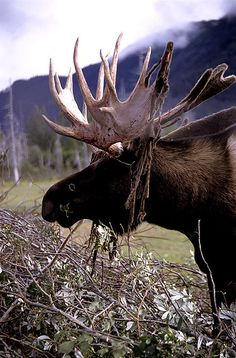 Alaska  Natives, i have seen one every trip see my friend Cathie!  She's mad because every time i come up i see one and she may not see a moose once in 3 years!!!