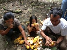 This is a family in the rain forest that is harvesting cacao. They always harvest their cacao together. It was really cute and interesting to see them together.