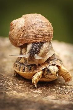 Snail hitching a ride with a turtle friend