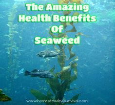 The Amazing Health Benefits of Seaweed! More info here: http://homesteadingsurvival.com/the-amazing-health-benefits-of-seaweed/