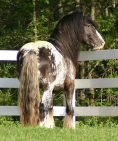 Indigo. Beautiful Gypsy horse with speckled spotted coat in black and white. Pretty long wavy tail and mane.