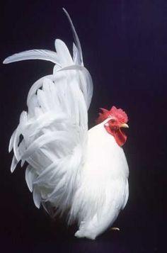Chicken Coops: Why Raise Chickens? Pretty Birds, Beautiful Birds, Animals Beautiful, Bantam Chickens, Chickens And Roosters, Hen Chicken, Chicken Art, Fancy Chickens, Chickens Backyard
