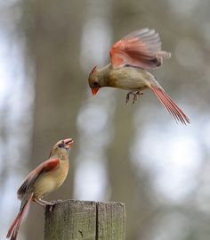 Young cardinals ~ a lovely sight!