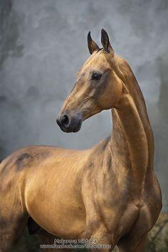 Jumali Akhal-Teke Horse by: Vikarus – Friesenpferde u. Most Beautiful Horses, All The Pretty Horses, Horse Photos, Horse Pictures, Beautiful Creatures, Animals Beautiful, Zebras, Akhal Teke Horses, Horse Anatomy