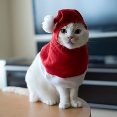 Christmas Kitten, Christmas Animals, Crazy Cat Lady, Crazy Cats, Cat Hat, Cute Cats And Kittens, Cute Creatures, Pet Birds, Fur Babies