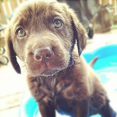 Chocolate Lab puppies are the cutest!