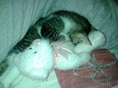 Mackerel Tabby kitten sleeping with teddybear