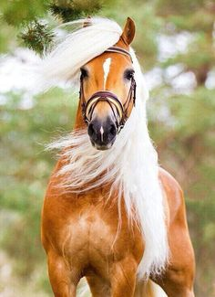 Coop a 9 year old palomino gelding. He is one of those horses that is memorable. Haflinger Horse, Palamino Horse, Friesian Horse, Andalusian Horse, Appaloosa Horses, Most Beautiful Animals, Beautiful Horses, Beautiful Creatures, Wild Horses