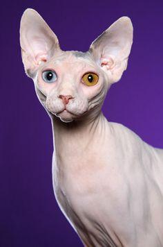 Sphynx- different color eyes. Pretty Cats, Beautiful Cats, Animals Beautiful, Cute Animals, Animals Images, Rex Cat, T Rex, Crazy Cat Lady, Crazy Cats
