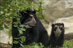 Spectacled Bear | Cute Spectacled Bear Babies (15 pics)