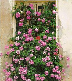 Пеларгония - герань садовая - Комнатные растения, цветы