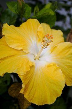butterscotch hibiscus