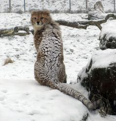 A cheetah cub seems bewildered by the snow at ZSL Whipsnade Zoo in Bedfordshire
