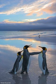"~~Rival Kings ~ Penguin Life | courtship between King Penguins; the female King Penguin is the one on the left doing the pushing, whilst her ""chosen"" male fends off the advances of another admirer 