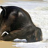 Just a baby elephant having fun at the beach170,240 views dilipdivech@gmail.com
