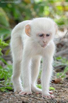 Albino Ververt  Maymun