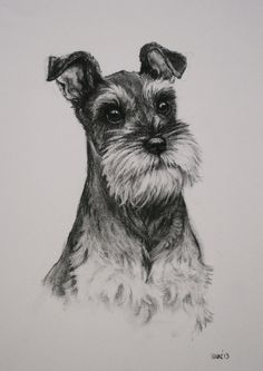 Miniature Schnauzer Terrier dog fine art Limited Edition print from an original charcoal drawing