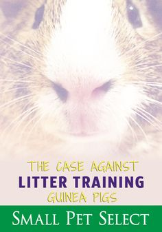 Guinea pigs eat and poop pretty much Litter training guinea pigs is possible-ish, but should work with their natural digestive process. Rabbit Litter, Litter Box, Litter Training Rabbits, Pigs Eating, Digestion Process, Natural Instinct, Boxing Training, Go Outside