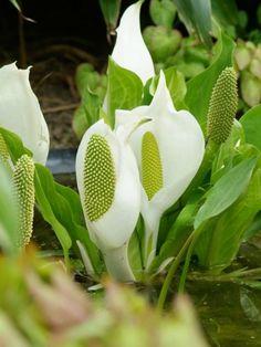 Lysichiton camtschatcensis - Aronskelk Tropical Garden, Exterior, Flowers, Plants, Park, Tropical Gardens, Parks, Plant, Outdoor Rooms