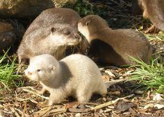 White otter cubs Blue Planet Aquarium 2