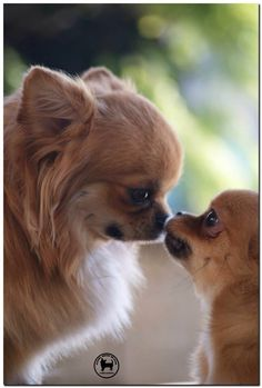 Chihuahua mother and pup