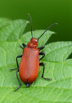 Red-headed Cardinal Beetle (pyrochroa serraticornis) | Flickr - Photo Sharing!