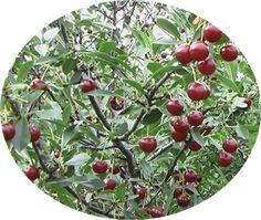 Jan Bush Cherry Prunus Jacquemonti X Japonica Jan Joy