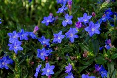 Grace Ward Lithodora  Beautiful, deep blue flowers cover this wonderful evergreen groundcover or rock garden accent. Sprawling with a slightly mounded form. Likes…