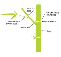 When pruning bamboo culms, make cuts just above the culm node. Similarly when pruning the branches, make cuts above the branch nodes. This way, there is no unsightly stub remaining behind which can rot and deteriorate. To compensate for the lost foliage, branches below the cut line will grow more leaves producing thicker foliage.
