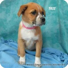 Urgent rural kill shelter FULL  most just babies  Desperate need for Adopters Fosters  or Rescue  Most don't make it here Madisonville, TN - Boxer Mix. Meet Tess a Puppy for Adoption.