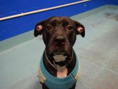SAFE TO BE DESTROYED 12/03/16 **AMAZINGLY AVERAGE AND PUBLICLY ADOPTABLE** My name is MARIBEL. My Animal ID # is A1097390. I am a female black and white am pit bull ter mix. The shelter thinks I am about 2 YEARS old. I came in the shelter as a STRAY on 11/19/2016 from NY 11208, owner surrender reason stated was STRAY.