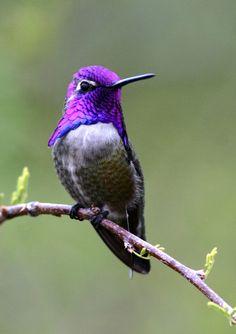 Pretty Birds, Love Birds, Beautiful Birds, Animals Beautiful, Cute Animals, Hummingbird Pictures, Hummingbird Art, Exotic Birds, Colorful Birds