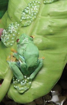 Red-Eyed Treefrogs breeding information