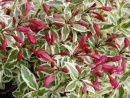 Weigela My Monet has stunning tri-colored variegated foliage and is a foolproof Flowering Shrub for a sunny to part shaded site in your perennial garden.    Noted for its compact habit, stunning pink flowers, along with a unique blend of pink, white and green variegated foliage.  Special Features:   Butterfly Lovers,Cold Hardy,Disease Resistant, Dear Proof, Easy Care, Foliage Interest,  Hummingbird Lovers, Long Blooming, Multi-Seasonal Interest, Pest Resistant, Rabbit Resistant, Variegated
