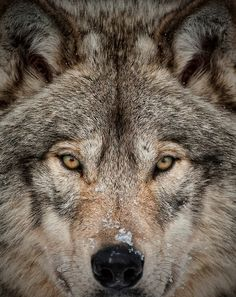 The Beauty of the Wolf by Bill Maynard                                                                                                                                                                                 More