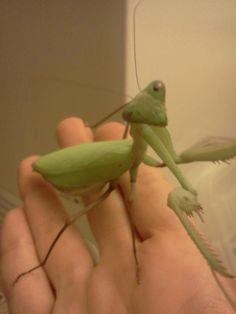 Keeping A Praying Mantis As A Pet