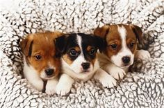 cei 3 cani