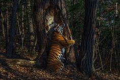 Image of tiger hugging tree wins 2020 wildlife photographer award | Environment | The Guardian Wild Life, Photography Awards, Wildlife Photography, Tiger Photography, Primates, Mammals, Panthera Tigris Altaica, Photo Animaliere, Top Photo