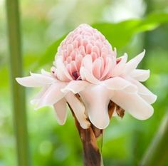 ginger flower - Buscar con Google