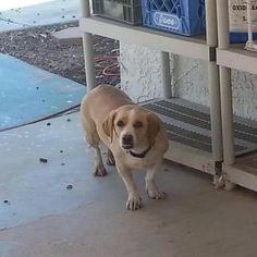 ID#1264884  I am a female Beagle.  My finder says I am over 1 year old. I have the following characteristics: She is about 35lb. Blondish-brown coat. Appears to be a Beagle mix, has a small underbite.  Someone found me on June 21. .