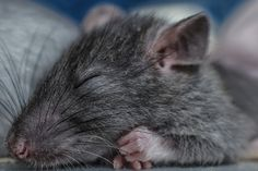 Rats Dream About the Places They Want to Explore - D-brief