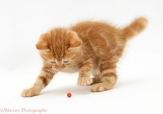 cats playing | WP24983 Red tabby British Shorthair kitten playing with a holly berry.