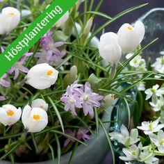 Lökar, knölar, rött och rhizomer till perenner och sommarblommor | Wexthuset Plants, Flora, Plant