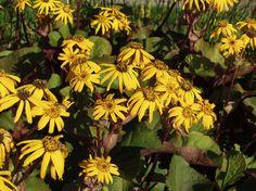Nauhus | Ligularia sp. | Summer ragwort/leopard plant