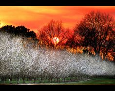 Winter sunset over the almond trees.