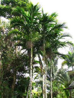 Ptychosperma elegans palms Hawaii